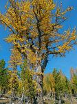 Larch at perfection