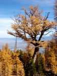 Remnant Old Growth Larch